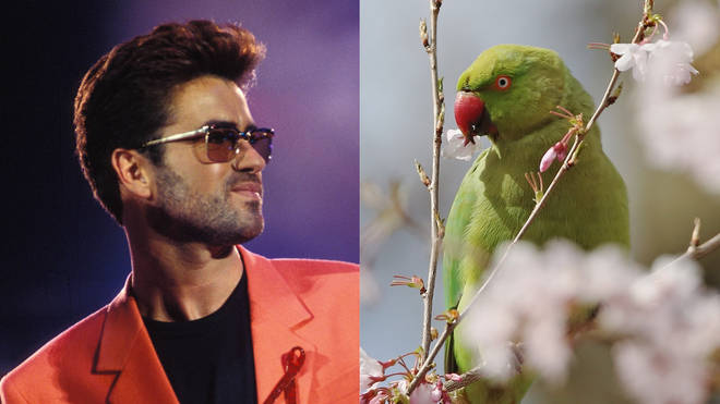 George Michael was not responsible for setting loose the first wild parakeets