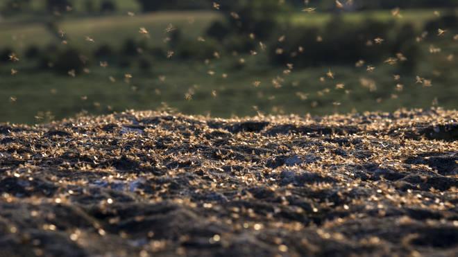 Flying ants