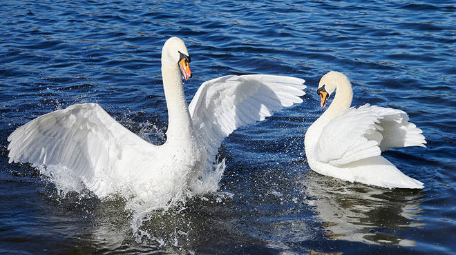 Swans have always been swimming in the Venice canals according to reports