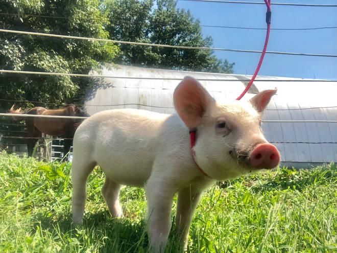 pig-rescued1