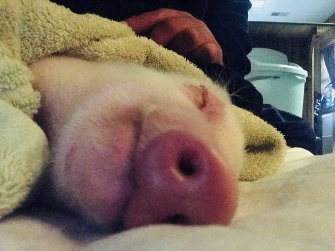 pig-rescued3