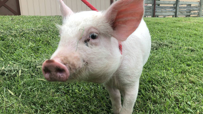 Cute piglet saved from slaughterhouse