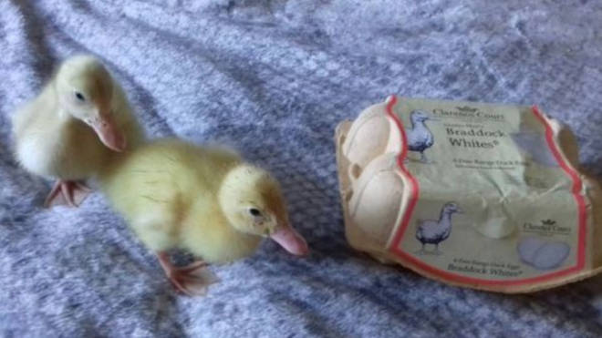 The three ducklings were hatched from a carton of free range Waitrose eggs